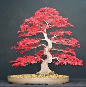 Japanese Red Maple Bonsai Tree Seeds Home Garden Maple Tree Uk Stock Ebay
