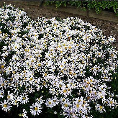 "Aster dumosus Kristina-trimestre Daisy Plant in 3.5 /""pot"