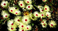 500 Semillas de Ficóide Limón Amarillo / Mesembryanthemum