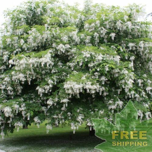 YELLOWWOOD Cladrastis Lutea 5 SEEDS FREE S/&H