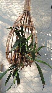Bambuskorb-fuer-Orchideen-und-andere-Haengepflanzen-Top-Exotisch-Groesse-57-x-bi