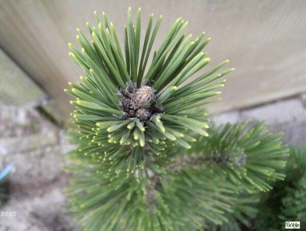 Pinus thunbergii - japanische Schwarzkiefer