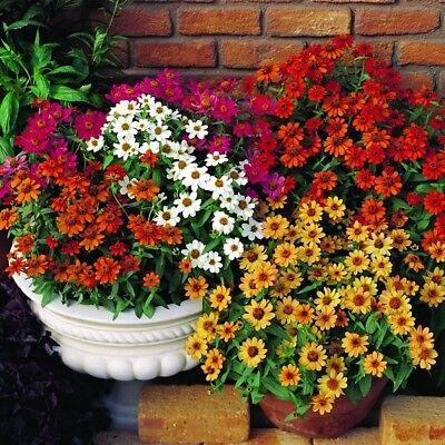 CELOSIA LILLIPUT COLOUR MIX SEEDS FLOWER GARDEN PATIO FLOWER 300 SEED PACK