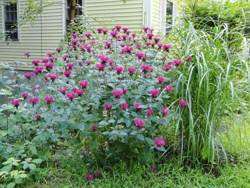 MONARDA BEE BALM MIX EASY FLOWER SEEDS 50 DEER RESISTANT PERENNIAL