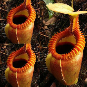 120-Seed-Rare-Nepenthes-Flytrap-Balcony-Potted-Bonsai-Plant-Plant-CarnivoroPLCA