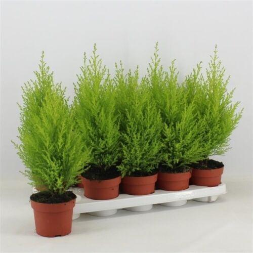 10.5cm pot Lemon Scented. 2 X Cupressus Goldcrest Wilma Evergreen Conifer