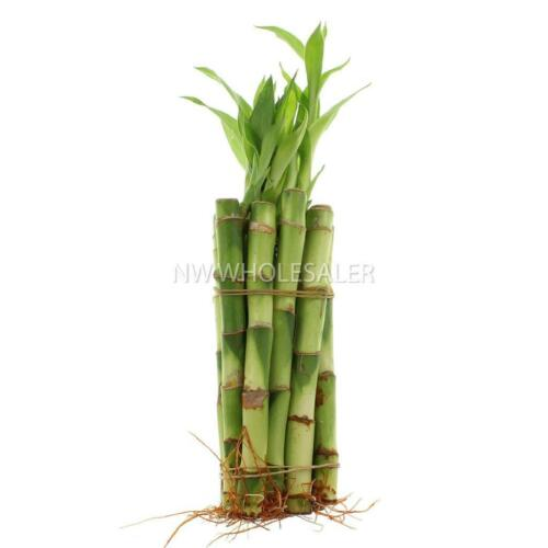 """NW Wholesaler Lucky Bamboo 6/"""" Straight Bundle of 10 w//16ft Gold Wire"""