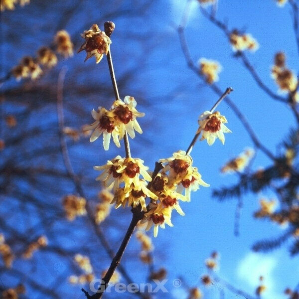 Chinesische Winterbl/üte 30-40cm Chimonanthus praecox