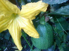 Eiförmige Zucchini,Goblin Egg Zucchini,  Saatgut aus Eigenanbau 5 Samen Kürbis