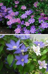 Clematis Sortiment Blumen Pflanzen Fur Den Balkon Mehrjahrig