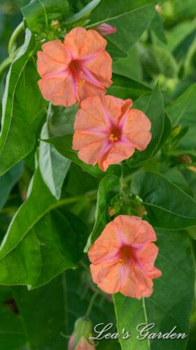 $3.00 Mirabilis jalapa /'Salmon Sunset/' —30 seeds four o/'clock /'Salmon Sunset/'