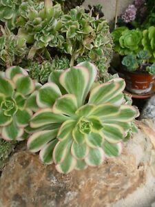 lot-2-boutures-cette-belle-plante-artichaut-aux-grandes-rosette-s-panachees