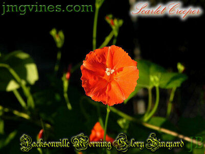 Red Morning Glory/_10 Seeds