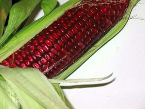 11 Graines de maïs Rouge /' Red Corn /' heirloom Seeds