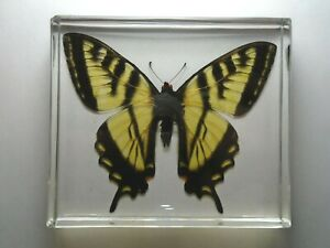 EASTERN-TIGER-SWALLOWTAIL-BUTTERFLY-Real-butterfly-casting-resin-encapsulation