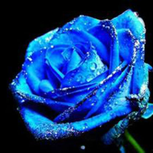 Lot 10PCS Lover Charming Bush Midnight  Seeds Rare Garden Blue Rose Seeds