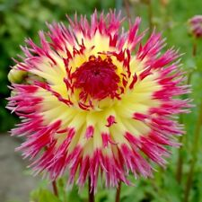 Dahlia Lindsay Michelle, Cactus Series, Yellow Pink Rose,Bare Root Size #1 tuber