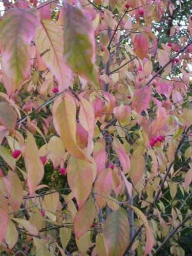 Euonymus atropurpurea Seeds Wahoo Burning Bush Showy, Fall Color, Hardy