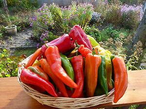 """Bulgarische mild scharf Paprika /""""Rogatschi/"""" 10 Samen aus Eigenanbau"""