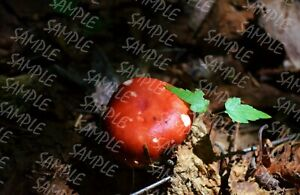 Forest-Red-Mushroom-Digital-Photo