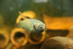 Wild Betta Antuta Pair - Mouthbrooders (young pair)