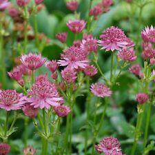 Astrantia Sterndolde rosafarbene Perlen für Schatten