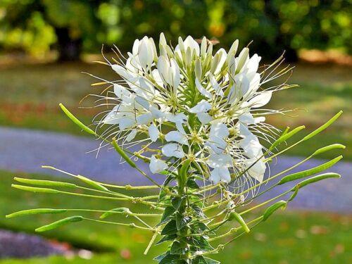 200 WHITE QUEEN CLEOME Hasslerana SPIDER FLOWER Seeds