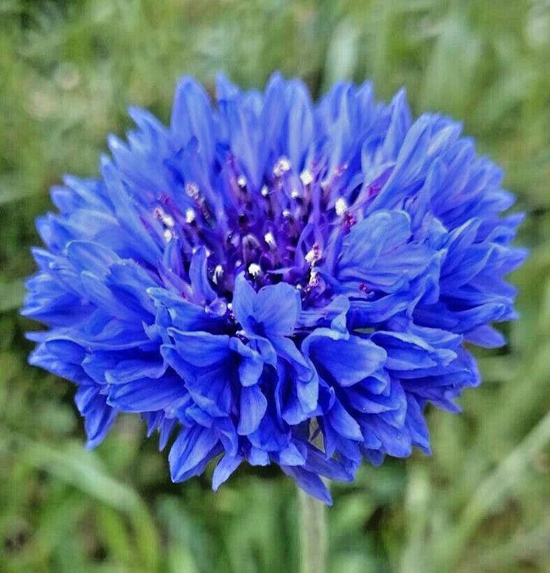 Blue Cornflower Bachelor Button Seeds   USA Garden Edible Flower Seed for 2021