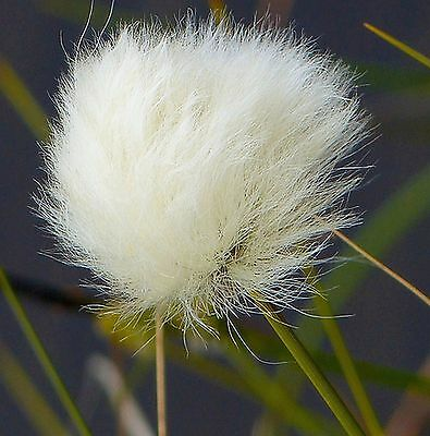 Eriophorum vaginatum       20 seeds