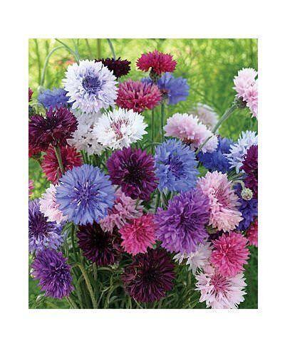 Kornblume 200 Samen Blume Centaurea cyanus Bachelor/'s Buttons Color Mix