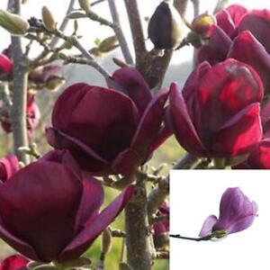Rare Deep Purple Black Magnolia Yulan Flower Tulip Tree 10 Seeds