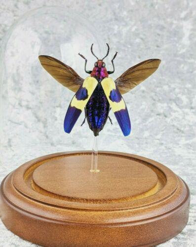 R5b Taxidermy Entomology Chrysochroa lg Beetle dome  curiosities oddities decor