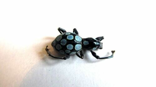 Pachyrrhynchus congestus BLUE Weevil Beetle Taxidermy REAL Insect