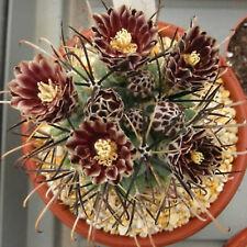Sclerocactus uncinatus rare cactus cacti seed 20 SEEDS