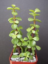 "PORTUCALARIA AFFRA  Green  rare elephant bush mini jade tree bonsai 2"" plant"