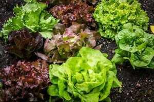 100-Seeds-Lettuce-Lactuca-sativa-Salad-Organic-Vegetable-Edible-Plants-in-Garden