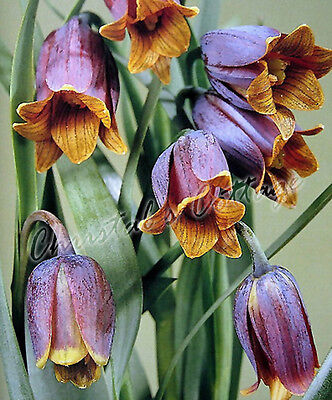 8 FRITILLARIA UVA VULPIS BULB CORM AUTUMN GARDENING GROWING SPRING FLOWERING