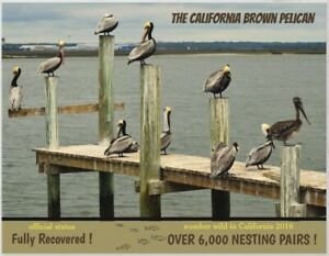 "Calif Brown Pelican an Endangered Species card by ""PostcardsTo SaveThePlanet"""