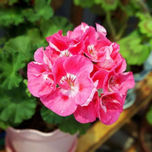 30Pcs Rare Pink Univalve Geranium Seeds Perennial Flower Seeds Pelargonium Pelta