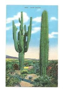 SAHUARO-CACTUS-Giant-Saguaro-Desert-Vtg-Linen-Postcard
