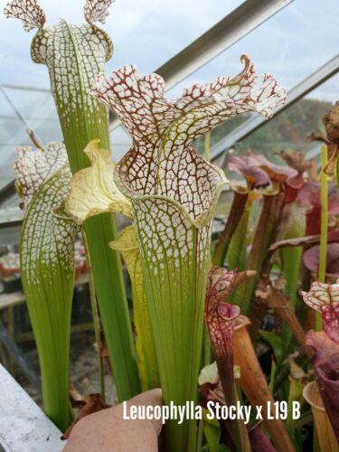 Sarracenia Seed Leucophylla Stocky x L19 B x  Flava Ornata F88 Sarracenia