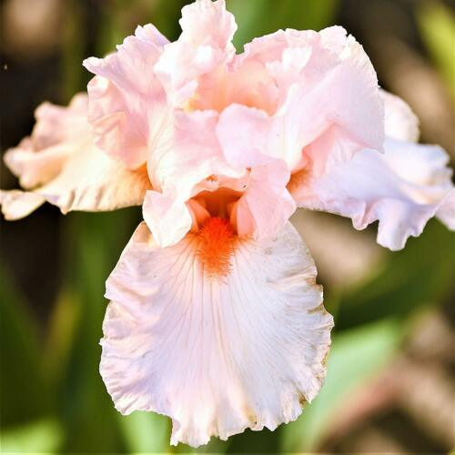 Fragrant Bearded Iris 2 Bulb Perennial Flower Beverly Sills Division DIY Rhizome