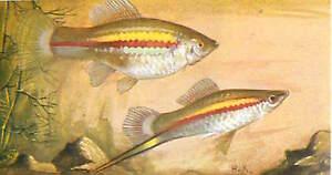 OLD-CARD-IMAGE-N-5-Xiphophorus-hellerii-Xypho-Green-swordtail-POISSON-FISH