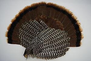 Adult Eastern Wild Turkey Tail Fan Wings Turkey Feathers
