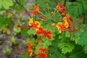 der-Pfauenstrauch-praechtige-zarte-Blueten-in-gelb-orange-Zierpflanze-Samen