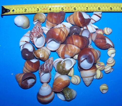 ASSORTED LAND SNAIL SHELLS HERMIT CRAB WITH MOISTURE SPONGE CRAFTS WOW! 15