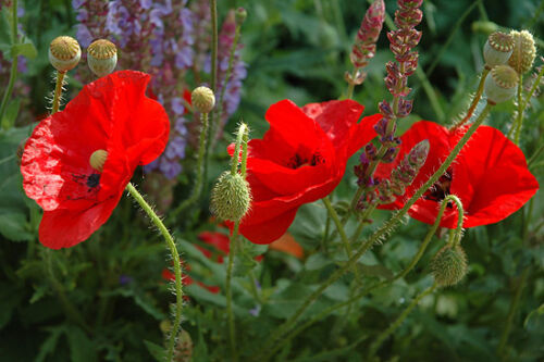 Papaver rhoeas ; Beautiful bright red flowers 100 FLANDERS POPPY SEEDS