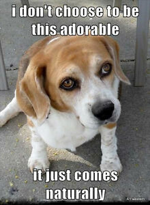"Funny Beagle  refrigerator magnet 2 1//2x 3 1//2  /"""