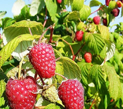 5 x  RASPBERRY CANES BARE ROOTED READY NOW CHOICE OF VARIETIES FREE POSTAGE