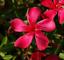 Nerium-Oleander-Oleandro-h-10-30-cm-vaso-8-4-piante miniatura 6